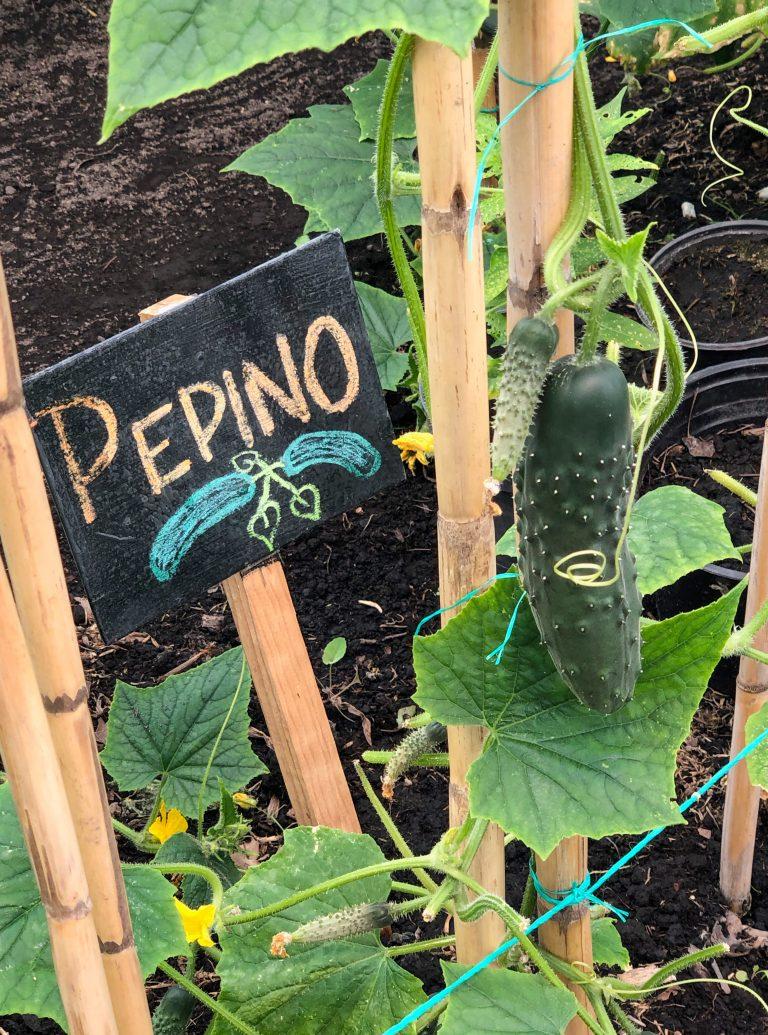 Pepino Plant Xochimilco Mexico