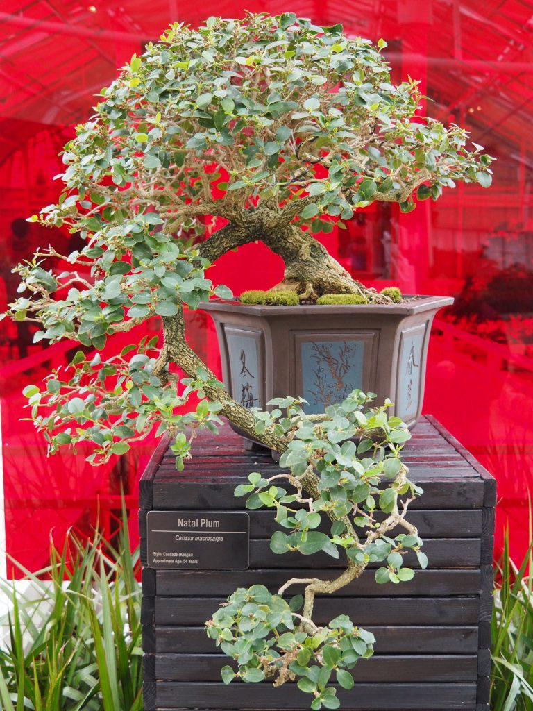 Franklin Botanical Garden Bonsai Tree