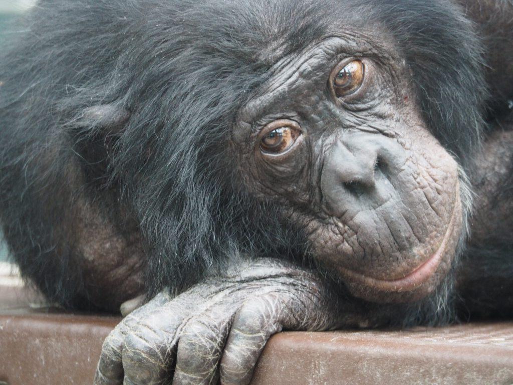 Columbus Zoo Chimpanzee