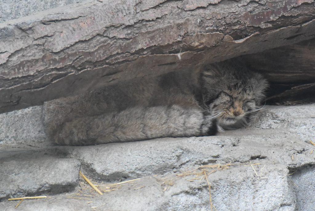 Columbus Zoo Fishing Cat