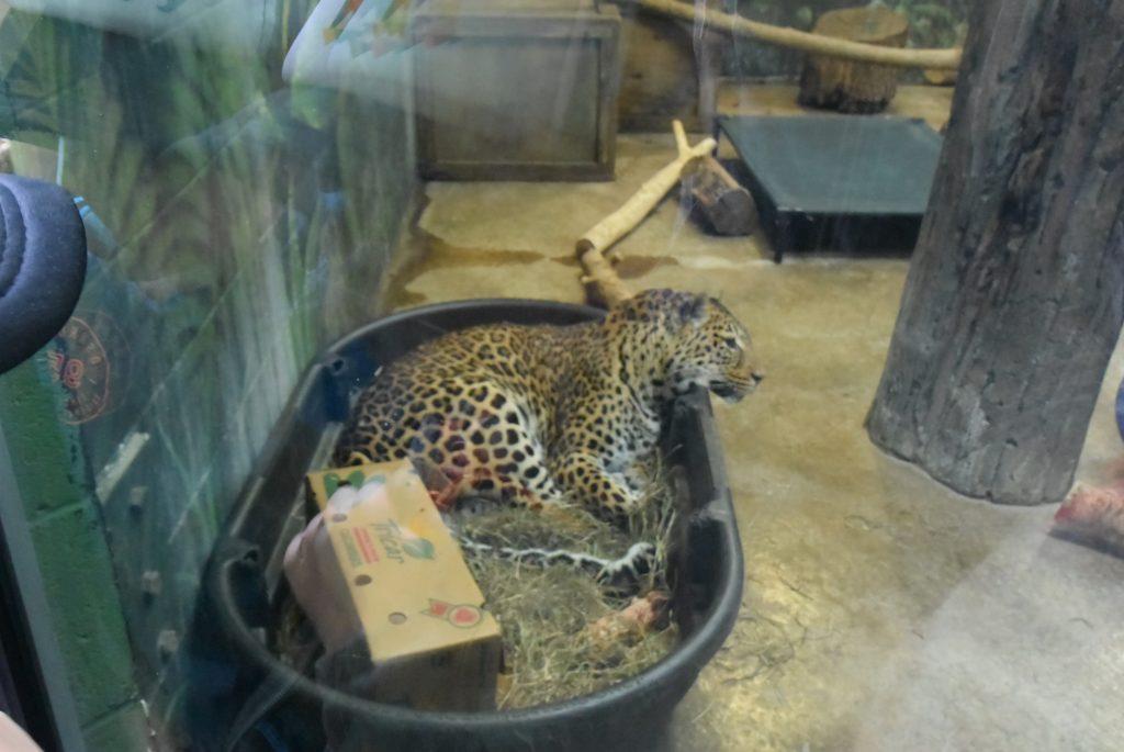 Columbus Zoo Leopard