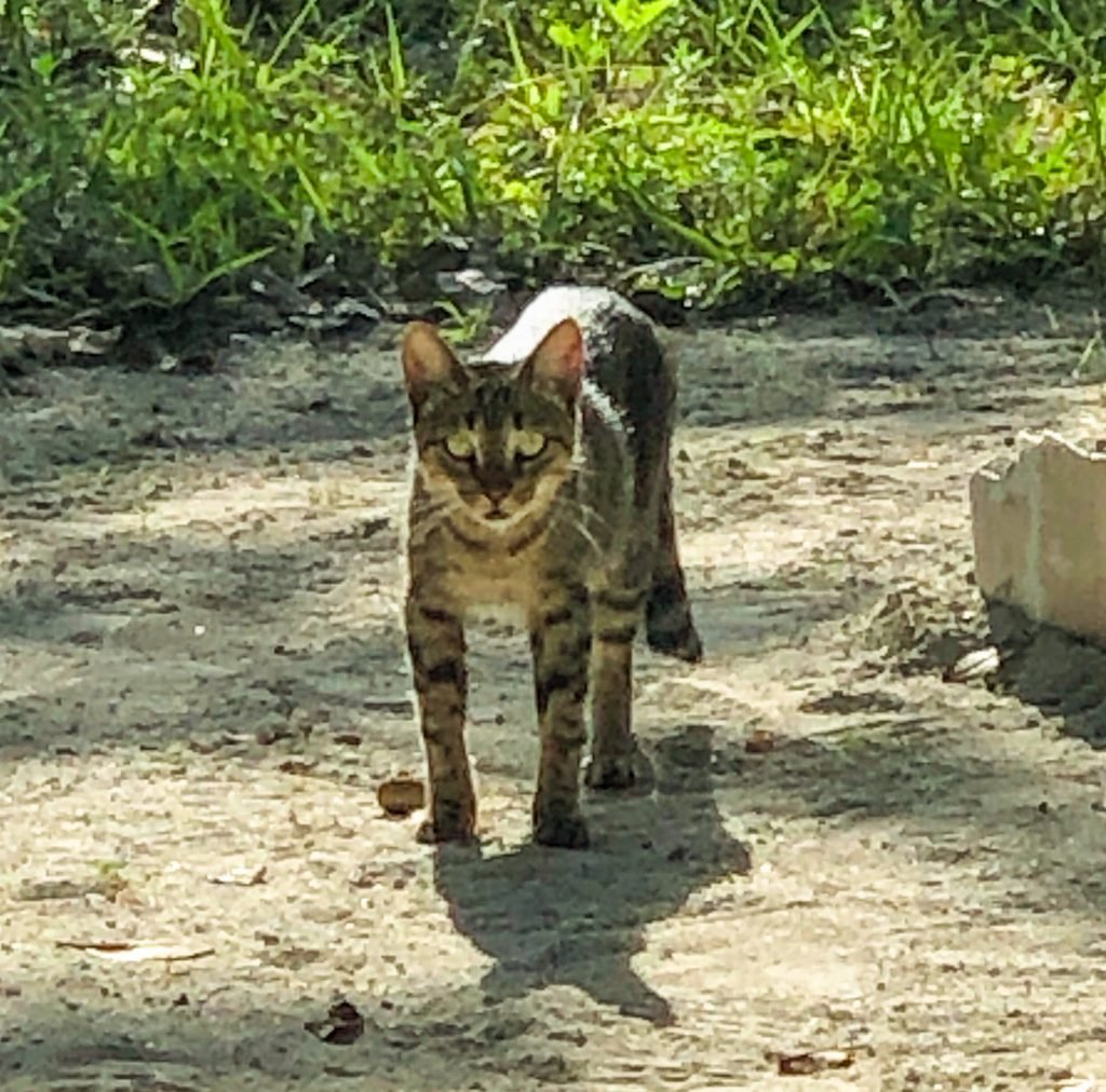 North Caicos Feral Cat