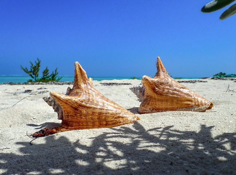 North Caicos Beach conch shells
