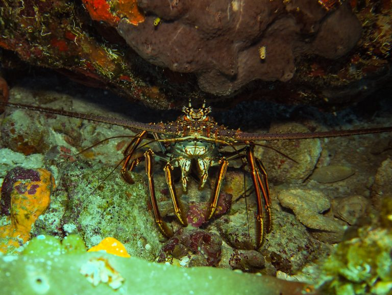 Lobster on dive in turks and Caicos