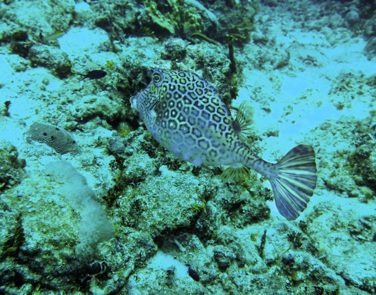 Puffer fish on dive at Turks & Caicos