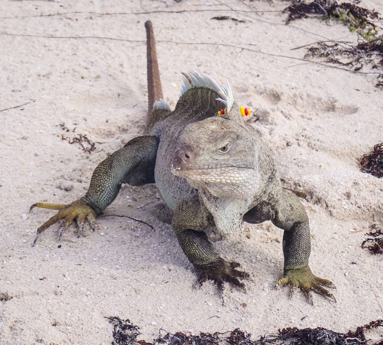 Iguana on Turks and Caicos