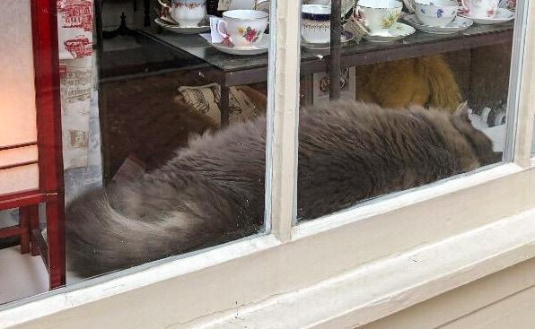 Gray cat at E Shaver Bookseller Savannah
