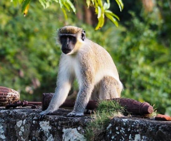 Wild monkey at the Hermitage Nevis