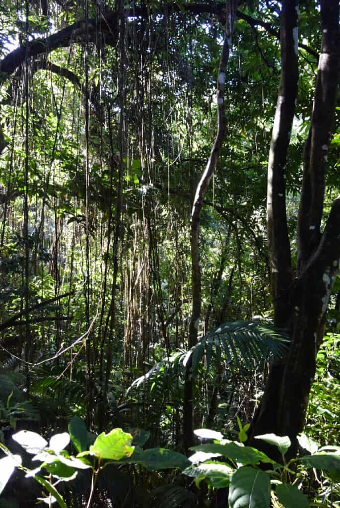 Hiking through the forest on Mt Liamuiga