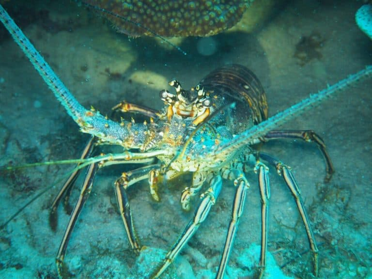 Lobster in St Kitts