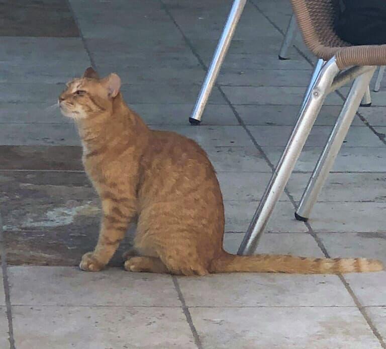Orange Cat at St Kitts Marriott