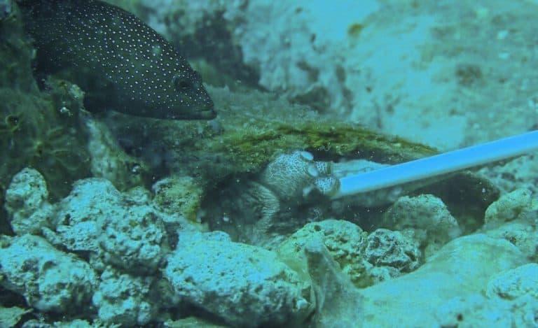 Octopus in St Kitts