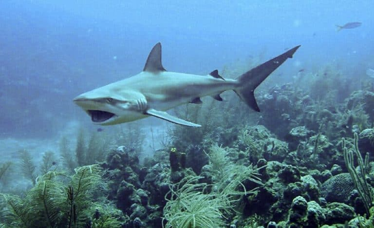 Reef Shark in St Kitts