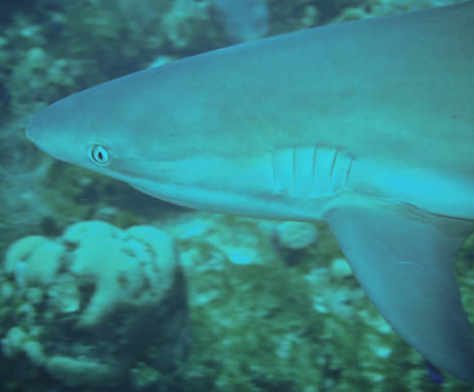 St Kitts Shark close up
