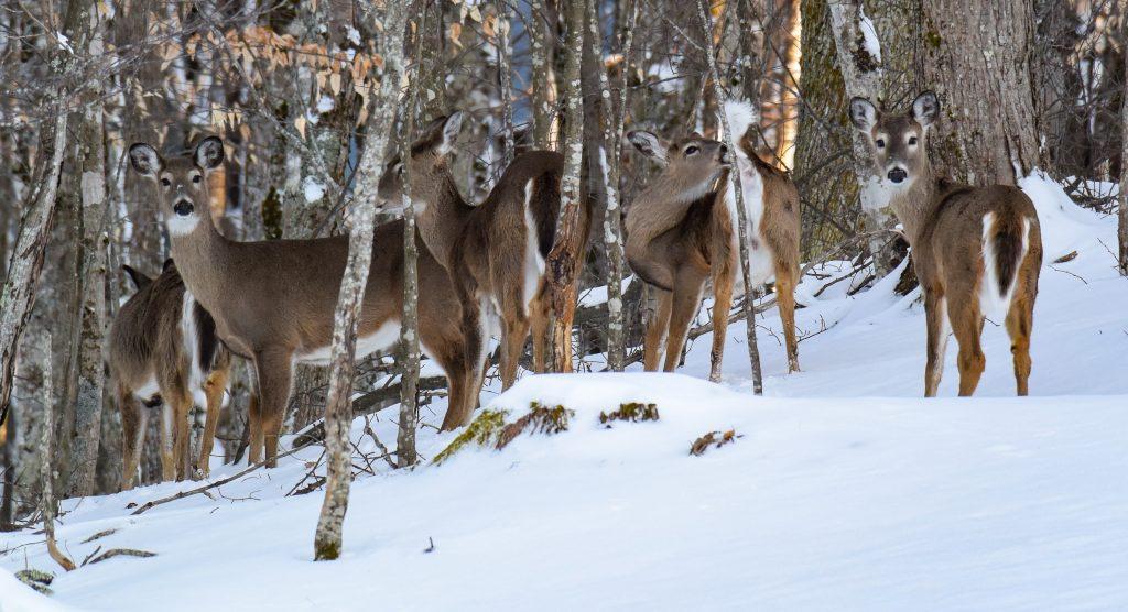 Group of Deer in Beech Mountain