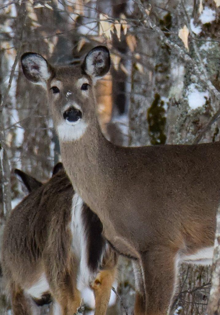 Beech Mountain Deer