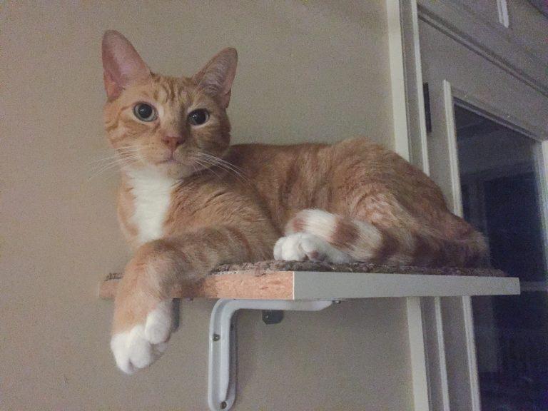 Orange Cat Willy on a Cat Shelf